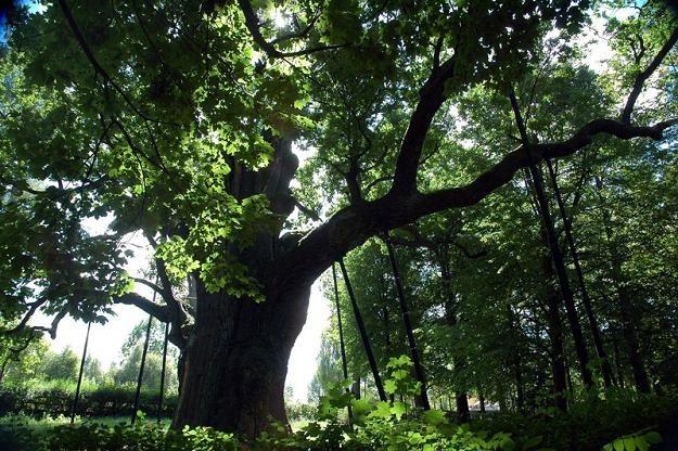 """Dąb """"Bartek"""" uchodzi za najstarsze drzewo w Polsce / fot. Lech Gawuc /Reporter"""
