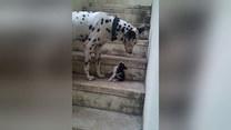 Dalmatyńczyk próbuje zaprzyjaźnić się z kotkiem. Urocze