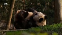Dlaczego pandy są czarno-białe?