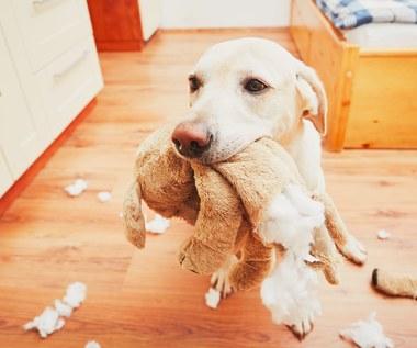 Dlaczego psy gryzą meble?