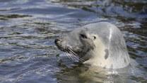 Dlaczego w Bałtyku wciąż giną młode foki?