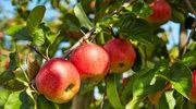 Dlaczego warto jeść jabłka codziennie?