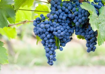 Domowe kosmetyki z ciemnych winogron