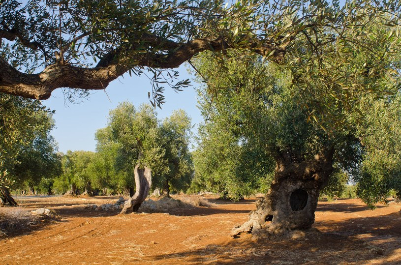 Drzewa oliwne powinny mieć około 20 metrów kwadratowych przestrzeni wokół pnia, wtedy rodzą najlepsze oliwki. /©123RF/PICSEL