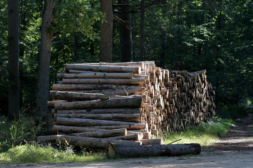 Drzewo przygotowane do wywózki z Puszczy Białowieskiej /Michał Kość /FORUM