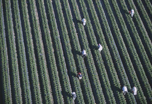 Duża część imigrantów pracuje w Polsce legalnie. Nz. zbiory truskawek /© Glowimages