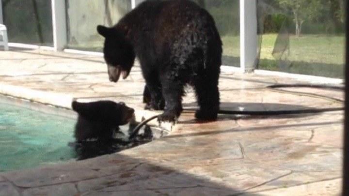 Dwa niedźwiadki baraszkowały w basenie. /TVN24/x-news