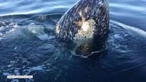 Dwa wieloryby przyłączyły się do rodzinnej wycieczki łódką