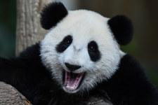 Dwie pandy wielkie przyleciały z Chin do holenderskiego zoo