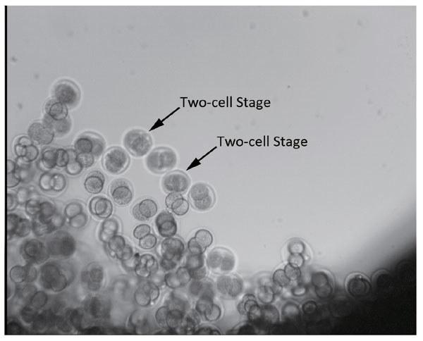 Dwukomórkowe embriony 4 godziny po starcie satelity /Fot. China Daily /materiały prasowe