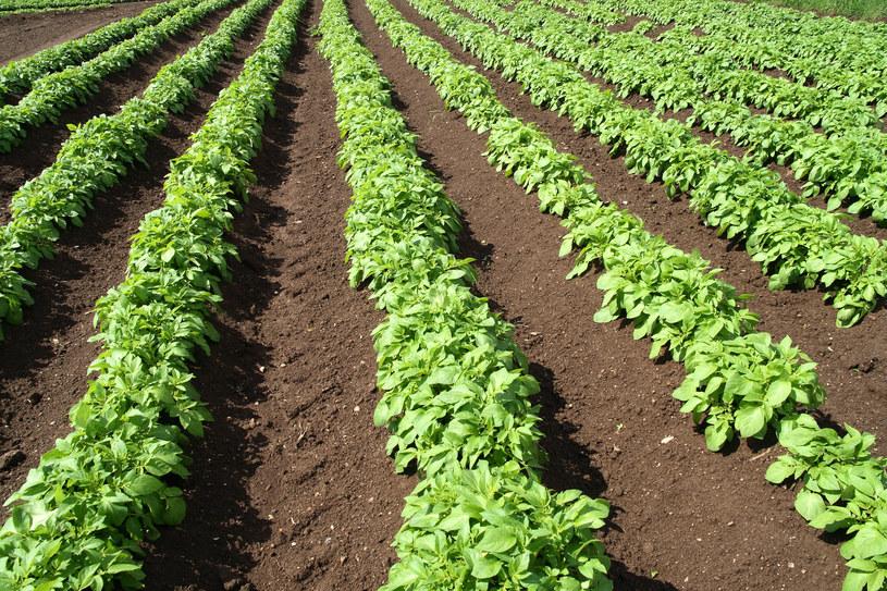Dzięki polskim naukowcom już wkrótce nie będziemy jeść roślin pryskanych herbicydami? /© Glowimages