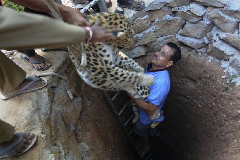 Dzięki środkom uspokajającym zwierzę nie było niebezpieczne dla otoczenia /Associated Press /East News