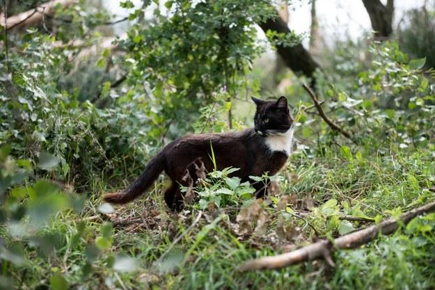 Dziewięcioletni kot Felek faktycznie oddalał się samowolnie poza posesję właściciela /Fot. Łukasz Piecyk /Reporter