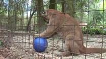 Dziki kot uwielbia bawić się piłką