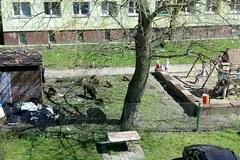 Dziki upodobały sobie place zabaw w Świnoujściu