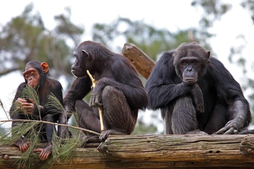 Eksperyment pokazał, że szympansy są bardziej racjonalne niż ludzie /©123RF/PICSEL