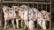 Estonia: Wykryto przypadki afrykańskiego pomoru świń