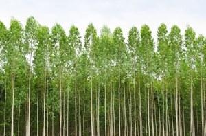 Eukaliptusy rosną na złożach złota - nowe dowody