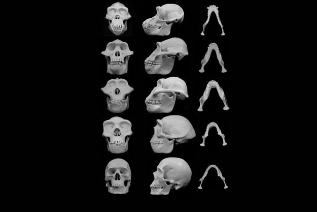 Ewolucja kształtu kosci czaszki Źródło: University of Utah /RMF24