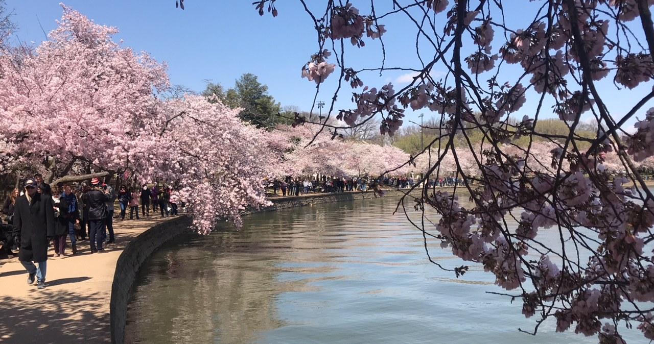 Festiwal Kwitnącej Wiśnie w Waszyngtonie