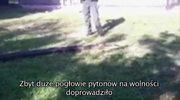 Floryda: Schwytano 5-metrowego pytona