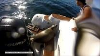 Foka wdrapała się na motorówkę. Polowały na nią głodne orki