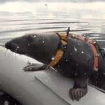 Foki na poligonie. Rosjanie szkolą morskie ssaki na przyszłych żołnierzy