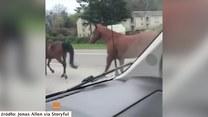 Galopem po autostradzie. Na ruchliwej drodze pojawiło się... stado koni