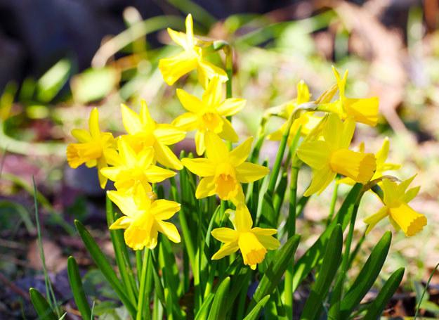Gdy chcesz rozświetlić wnętrze, kup żółte żonkile /123RF/PICSEL