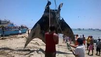 Gigantyczny stwór morski wyłowiony przez rybaków