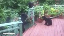 Głodne niedźwiadki włamały się na domowy taras