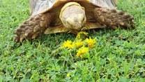 """Głodny żółw """"rzucił się"""" na kwiaty"""