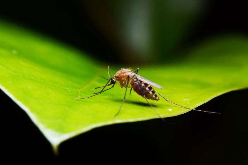 Głównymi roznosicielami tropikalnych chorób są komary /©123RF/PICSEL