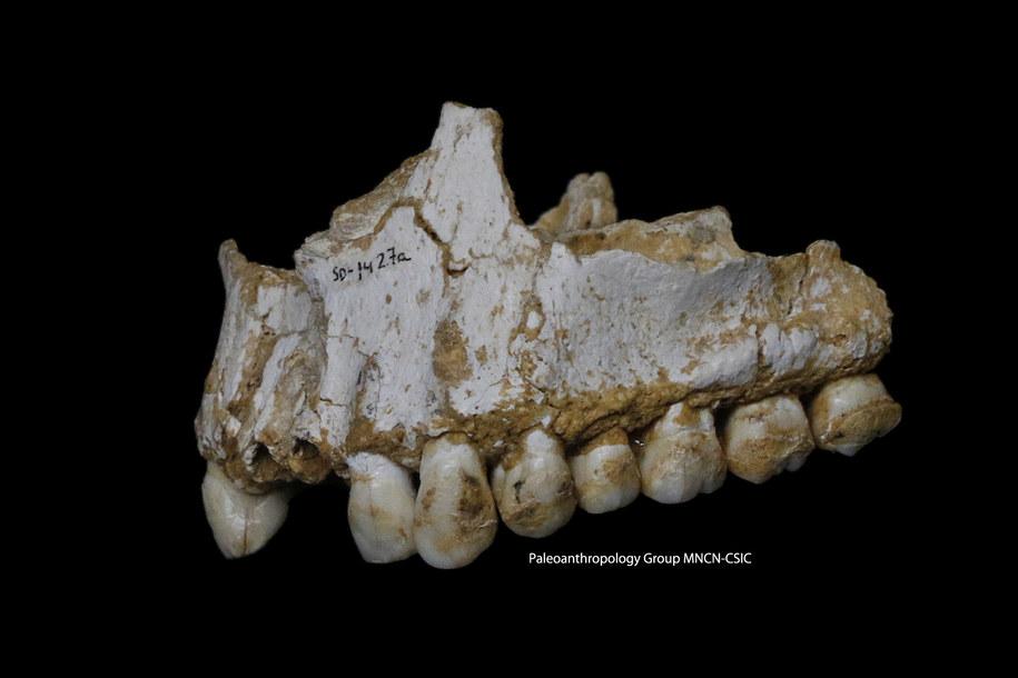 Górna szczęka z jaskini El Sidron. Jej analiza pokazała, że ten osobnik leczył się kwasem salicylowym i penicyliną /Paleoanthropology Group MNCN-CSIC /materiały prasowe