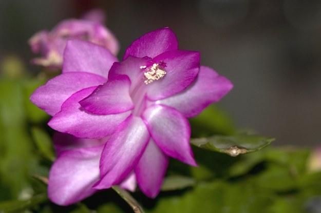 Grudnik jest bardzo wrażliwym kwiatem /123/RF PICSEL