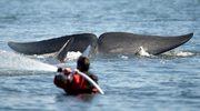 Hakerzy z Anonymous zaatakowali stronę premiera Japonii. To zemsta za plany połowu wielorybów