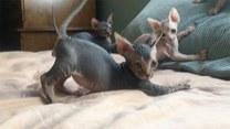 Harcujące rodzeństwo małych sfinksów