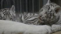 Historyczne narodziny białych tygrysów bengalskich