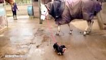 Hit! Jamnik wyprowadza konia na spacer