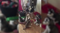 Husky i jej dzieci w porannym koncercie