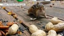 Ile orzechów zmieści wiewiórka w swoim policzku?