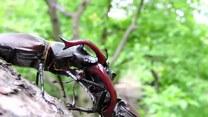 Imponująca walka chrząszczy