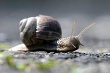 Inwazja ślimaków w Polsce. Zaskakująca analiza studentek