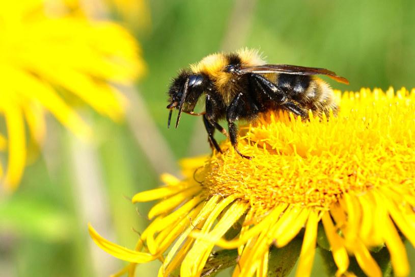 Jad owadów błonkoskrzydłych może zabić. Rośnie liczba osób uczulonych /123RF/PICSEL