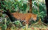 Jaguar /Encyklopedia Internautica