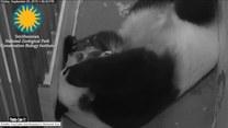 Jak kicha mała panda?
