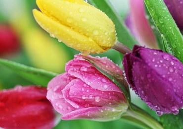 Jak przedłużyć trwałość tulipanów?