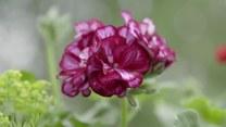 Jak sadzić i pielęgnować pelargonie? Niech żyje ogród!