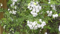 Jak sadzić róże i jak o nie dbać?