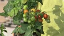 Jak uprawiać warzywa i owoce na balkonie?